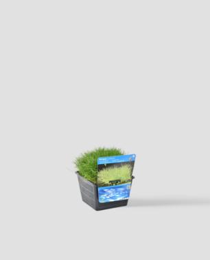 Vijverplant Scripus Isolepsis
