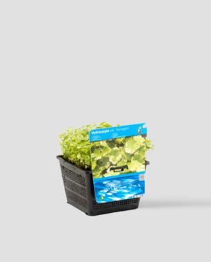 Vijverplant Hydrocotyle sib. Variegata
