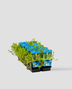 Vijverplant Myriophyllum Red Stem